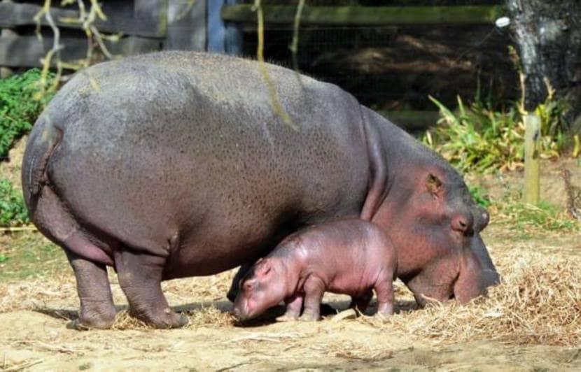 Congo basin conservation society a la joie de vous annoncer la naissance d'un bébé hippopotame de 50 kilos